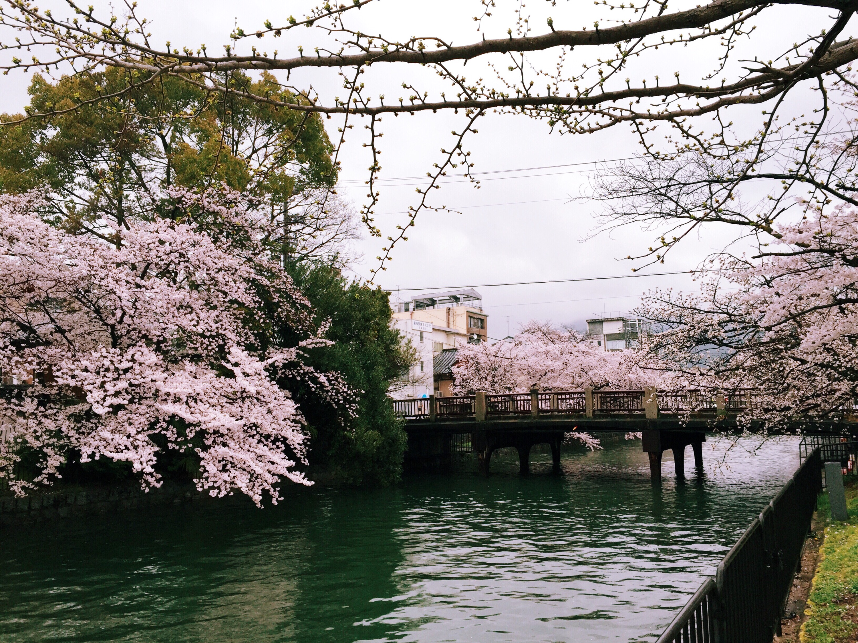 japan travel sakura